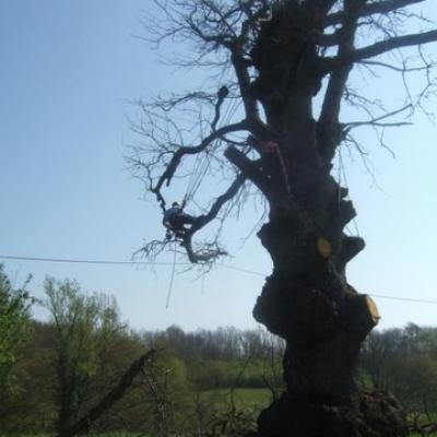 abattage d'un chêne par démontage